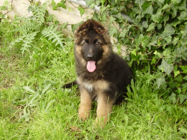 costo cucciolo pastore tedesco